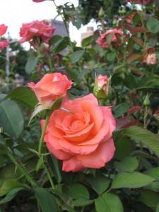 roses in the Boston Public Garden