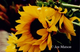 Sunflowers – #271