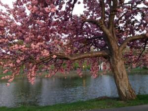 cherrtrees