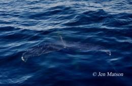 Underwater Fluke, Humpback Whale