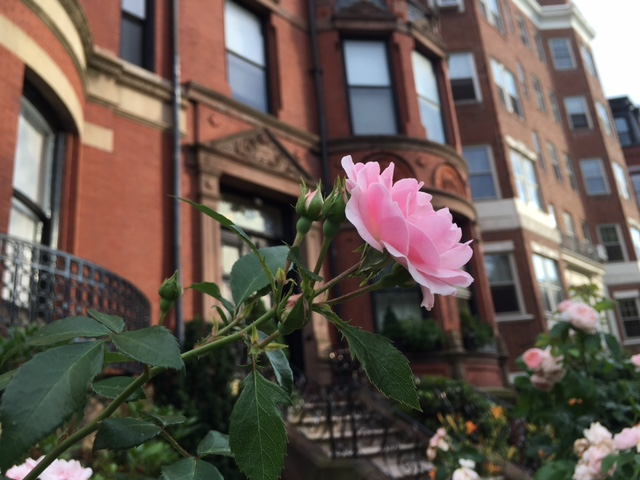 Photograph of pink roses, Commonwealth Avenue Boston