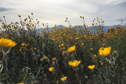 California Wildflower Superbloom