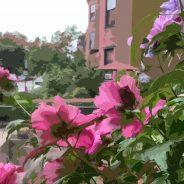 Rose of Sharon, Back Bay