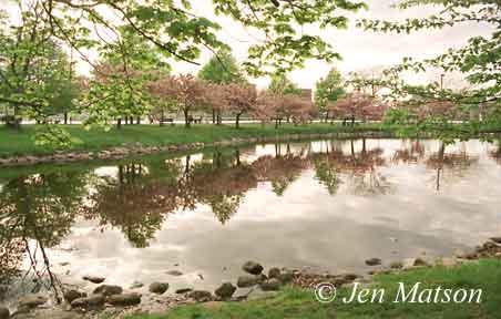 Esplanande Cherry Blossoms – # B-12
