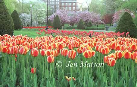 Boston Public Garden – #66